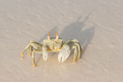 Seychelles ocypode ceratophthalmus Royalty Free Stock Photos