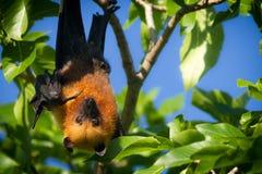 Seychelles owocowego nietoperza wskazywać fotografia stock