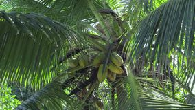 Seychelles. Praslin Island. Leaves of high palm sway in the wind. The fruits of tropical fruits grow on the tree. Green leaves of high palm sway in the wind. The stock footage