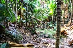 Seychelles Praslin Island Vallee de Mai Sea coconut tree. Photographed in October 2017 royalty free stock image