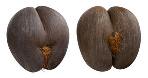 Seychelles sea`s coconuts on isolated background Royalty Free Stock Photo