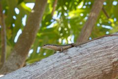 Seychelles Skink 1. Endemic Seychelles skink lizard sitting on a tree branch Stock Photography