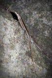 Seychelles skink. A lizard on a stone in Valle de Mai park. Seychelles stock photos