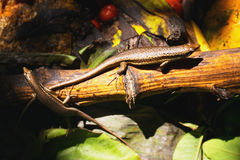 Seychelles skinks Stock Photo
