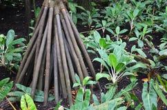 Seychelles stilt palm Royalty Free Stock Photo