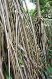 Seychelles stilt palm Royalty Free Stock Image