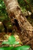 Seychelles. Tronco da palma. Fotografia de Stock