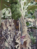 Seychelles tropicales lagarto de árbol del vBanana en las Seychelles Imagen de archivo libre de regalías