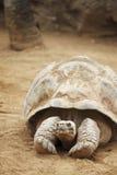 Seychelles turtle Royalty Free Stock Photo