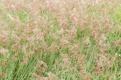 Seymour Grass Blossom Texture imagens de stock