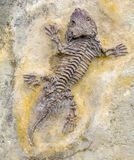 Seymouria fossil closeup. Fossil closeup of a reptile-like animal named Seymouria seen from above royalty free stock images