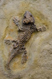 Seymouria Fossile. Seymouria was a reptile-like labyrinthodont from the early Permian of North America and Europe (approximately 280 to 270 million years ago) Royalty Free Stock Photos