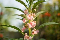 Sezamowy kwiat Fotografia Stock