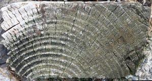 Sezione del ceppo dell'albero Fotografia Stock Libera da Diritti