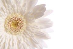 Sezione del fiore della margherita bianca Immagini Stock Libere da Diritti