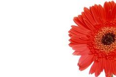 Sezione del fiore rosso della margherita Fotografia Stock Libera da Diritti