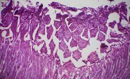 Sezione dell'intestino tenue sotto il microscopio Immagine Stock