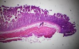 Sezione dell'intestino tenue sotto il microscopio Fotografie Stock Libere da Diritti