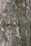 Sezione della corteccia del pino Fotografia Stock