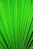 Sezione della foglia di palma di Chusan Fotografie Stock