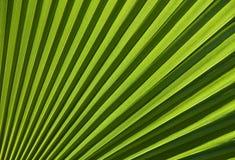 Sezione della foglia di palma di Chusan immagini stock