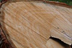 Sezione della quercia fotografie stock libere da diritti