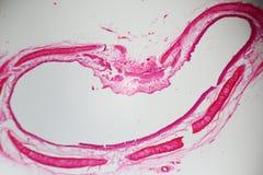Sezione della trachea sotto il microscopio Fotografia Stock Libera da Diritti