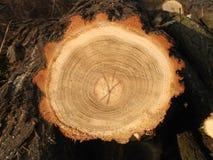 Sezione di legno Immagine Stock Libera da Diritti