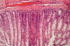Sezione di un epitelio ciliato del cane fotografia stock libera da diritti