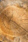 Sezione di vecchio albero Immagine Stock Libera da Diritti