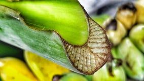 Sezione fresca del taglio della foglia della banana fotografia stock libera da diritti