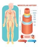 Sezione trasversale anatomica dell'illustrazione di vettore dell'arteria muscolare Schema del diagramma del vaso sanguigno dell'a royalty illustrazione gratis