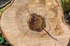 Sezione trasversale del circuito di collegamento di albero che mostra gli anelli di sviluppo Fotografia Stock Libera da Diritti