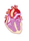 Sezione trasversale del cuore Immagini Stock Libere da Diritti