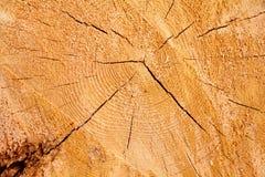 Sezione trasversale dell'albero fotografie stock