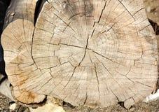 Sezione trasversale dell'Eucalyptus-albero Immagini Stock