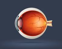 Sezione trasversale dell'occhio umano Fotografia Stock