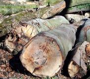Sezione trasversale della foresta di autunno del tronco di albero fotografia stock