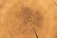 Sezione trasversale della quercia fotografia stock libera da diritti
