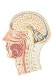 Sezione trasversale della testa umana Fotografia Stock Libera da Diritti
