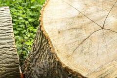 Sezione trasversale di grande tronco di albero immagine stock libera da diritti