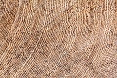 Sezione trasversale di legno naturale degli anelli di sviluppo dell'albero Fotografia Stock