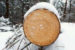 Sezione trasversale di recente segata del primo piano del pino nella foresta nell'inverno fotografia stock libera da diritti