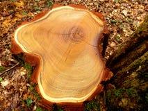 Sezione trasversale di un albero abbattuto dell'acacia Immagini Stock