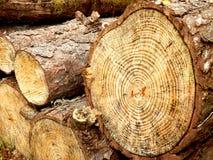 Sezione trasversale di un albero di pino Immagine Stock Libera da Diritti