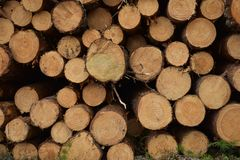 Sezione trasversale di un albero di pino fotografia stock