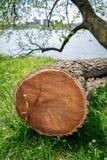 Sezione trasversale di un albero tagliato, trovantesi in un prato di erba verde, mostrante gli anelli di anno fotografia stock libera da diritti