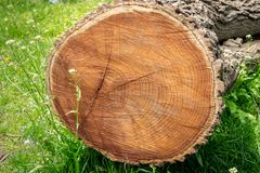 Sezione trasversale di un albero tagliato, trovantesi in un prato di erba verde, mostrante gli anelli di anno immagini stock libere da diritti