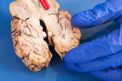 Sezione trasversale di un cervello della mucca Fotografia Stock Libera da Diritti