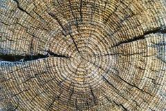 Sezione trasversale di vecchio tronco di albero, mostrando gli anelli annuali e le crepe Struttura di legno fotografie stock